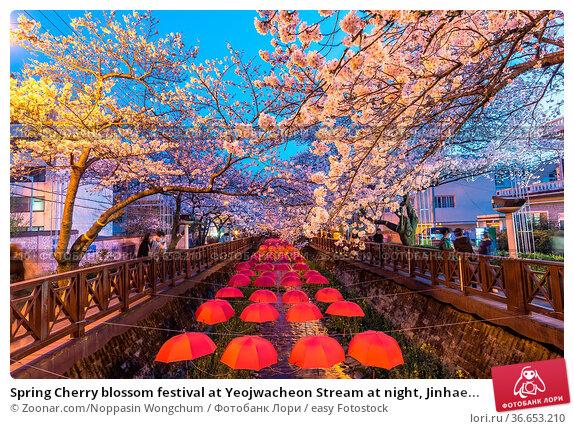 Spring Cherry blossom festival at Yeojwacheon Stream at night, Jinhae... Стоковое фото, фотограф Zoonar.com/Noppasin Wongchum / easy Fotostock / Фотобанк Лори