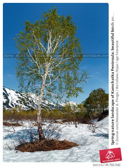 Spring nature landscape of Kamchatka Peninsula: beautiful birch on... Стоковое фото, фотограф Zoonar.com/Alexander A. Piragis / age Fotostock / Фотобанк Лори