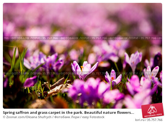 Spring saffron and grass carpet in the park. Beautiful nature flowers... Стоковое фото, фотограф Zoonar.com/Oksana Shufrych / easy Fotostock / Фотобанк Лори