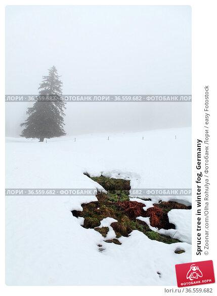 Spruce tree in winter fog, Germany. Стоковое фото, фотограф Zoonar.com/Olha Rohulya / easy Fotostock / Фотобанк Лори