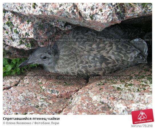 Спрятавшийся птенец чайки, фото № 73210, снято 19 ноября 2006 г. (c) Елена Яковенко / Фотобанк Лори