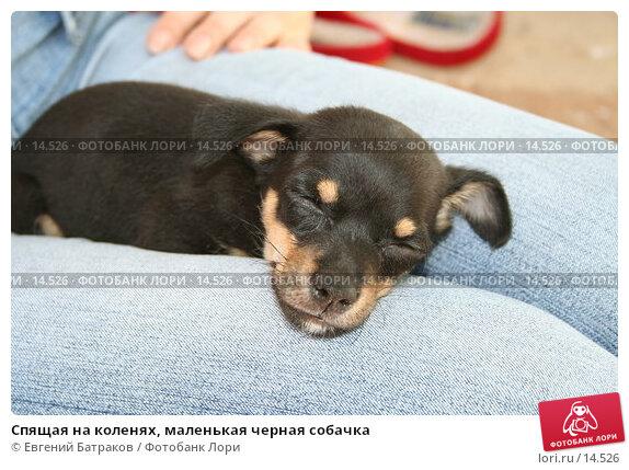 Спящая на коленях, маленькая черная собачка, фото № 14526, снято 24 июня 2006 г. (c) Евгений Батраков / Фотобанк Лори