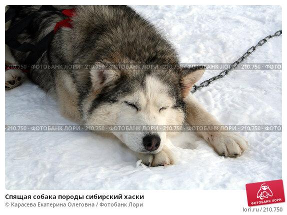 Спящая собака породы сибирский хаски, фото № 210750, снято 3 февраля 2008 г. (c) Карасева Екатерина Олеговна / Фотобанк Лори