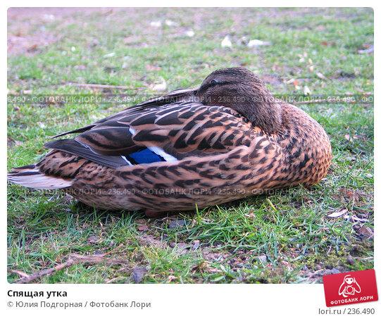 Спящая утка, фото № 236490, снято 15 марта 2008 г. (c) Юлия Селезнева / Фотобанк Лори