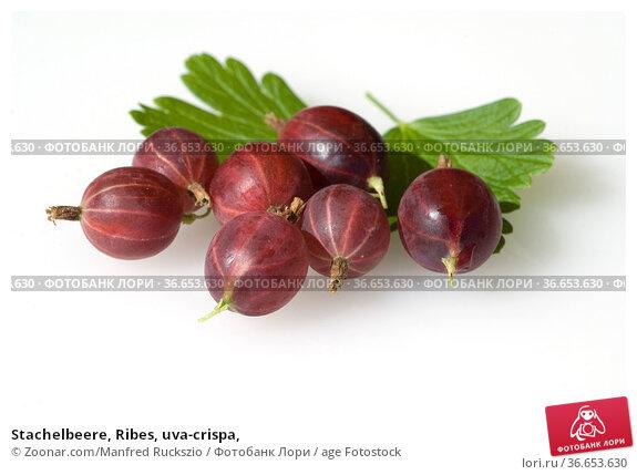 Stachelbeere, Ribes, uva-crispa, Стоковое фото, фотограф Zoonar.com/Manfred Ruckszio / age Fotostock / Фотобанк Лори