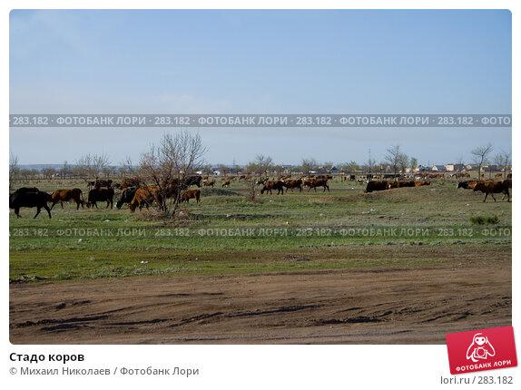 Стадо коров, фото № 283182, снято 13 мая 2008 г. (c) Михаил Николаев / Фотобанк Лори