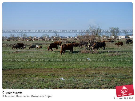 Стадо коров, фото № 283206, снято 13 мая 2008 г. (c) Михаил Николаев / Фотобанк Лори