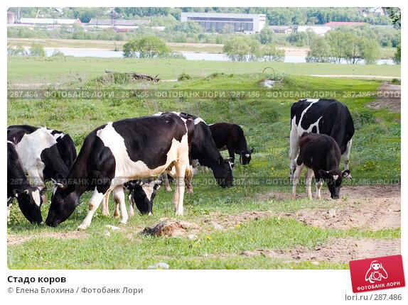Стадо коров, фото № 287486, снято 16 мая 2008 г. (c) Елена Блохина / Фотобанк Лори