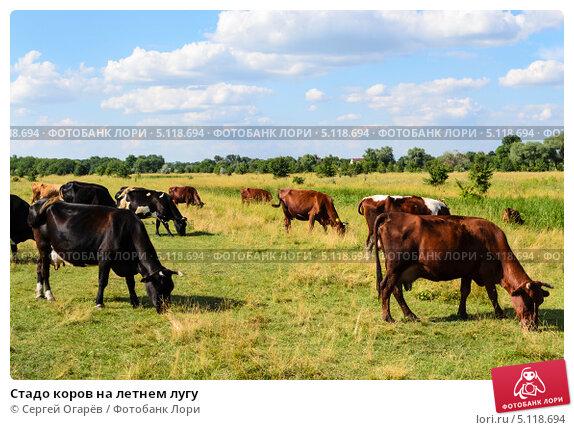 Стадо коров на летнем лугу. Стоковое фото, фотограф Сергей Огарёв / Фотобанк Лори