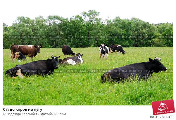 Стадо коров на лугу, фото № 314410, снято 31 мая 2008 г. (c) Надежда Келембет / Фотобанк Лори