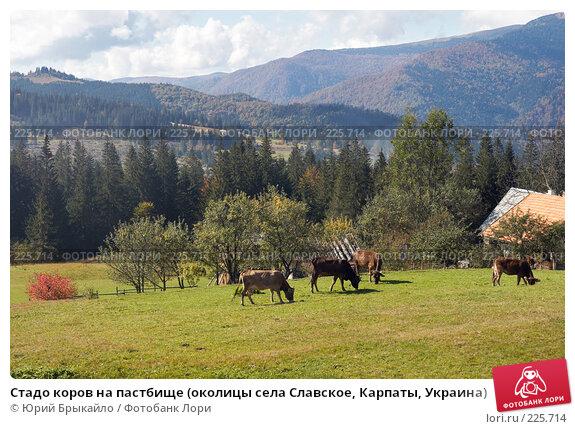 Стадо коров на пастбище (околицы села Славское, Карпаты, Украина), фото № 225714, снято 29 сентября 2007 г. (c) Юрий Брыкайло / Фотобанк Лори