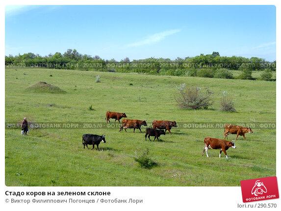 Стадо коров на зеленом склоне, фото № 290570, снято 28 мая 2006 г. (c) Виктор Филиппович Погонцев / Фотобанк Лори