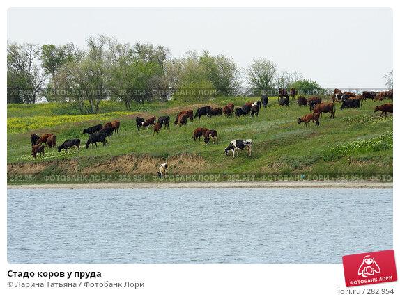 Купить «Стадо коров у пруда», фото № 282954, снято 6 мая 2008 г. (c) Ларина Татьяна / Фотобанк Лори