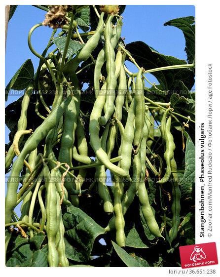 Stangenbohnen, Phaseolus vulgaris. Стоковое фото, фотограф Zoonar.com/Manfred Ruckszio / age Fotostock / Фотобанк Лори