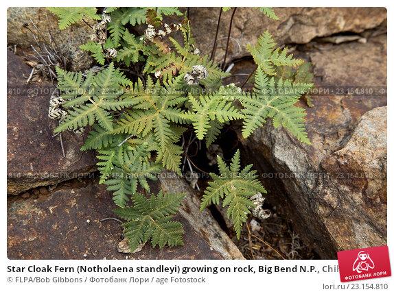 Купить «Star Cloak Fern (Notholaena standleyi) growing on rock, Big Bend N.P., Chihuahuan Desert, Texas, U.S.A., February», фото № 23154810, снято 22 марта 2016 г. (c) age Fotostock / Фотобанк Лори
