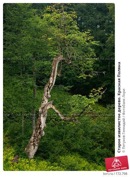 Старое извилистое дерево. Красная Поляна, фото № 172798, снято 16 августа 2007 г. (c) Петухов Геннадий / Фотобанк Лори