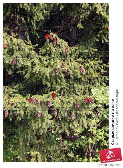 Старые шишки на елке, фото № 282190, снято 10 мая 2008 г. (c) Parmenov Pavel / Фотобанк Лори