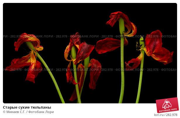Старые сухие тюльпаны, фото № 282978, снято 8 мая 2008 г. (c) Минаев С.Г. / Фотобанк Лори