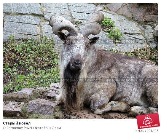Купить «Старый козел», фото № 101118, снято 8 ноября 2004 г. (c) Parmenov Pavel / Фотобанк Лори