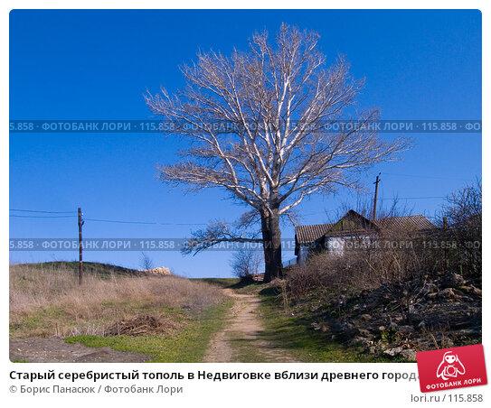 Старый серебристый тополь в Недвиговке вблизи древнего города Танаиса, фото № 115858, снято 22 февраля 2007 г. (c) Борис Панасюк / Фотобанк Лори
