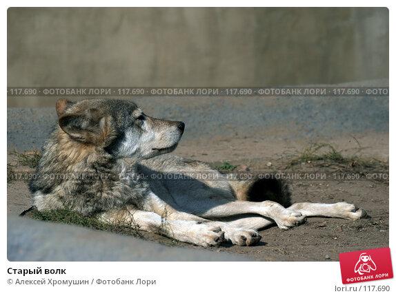 Купить «Старый волк», фото № 117690, снято 28 сентября 2006 г. (c) Алексей Хромушин / Фотобанк Лори