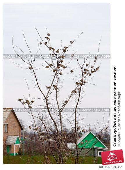 Стая воробьёв на дереве ранней весной, фото № 101338, снято 10 марта 2007 г. (c) Борис Панасюк / Фотобанк Лори