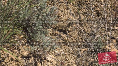 Купить «Степная агама в естественной среде обитания. Steppe Agama in habitat.», видеоролик № 28567838, снято 11 июня 2018 г. (c) Евгений Романов / Фотобанк Лори