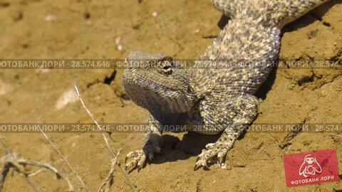 Купить «Степная агама в естественной среде обитания. Steppe Agama in habitat.», видеоролик № 28574646, снято 11 июня 2018 г. (c) Евгений Романов / Фотобанк Лори
