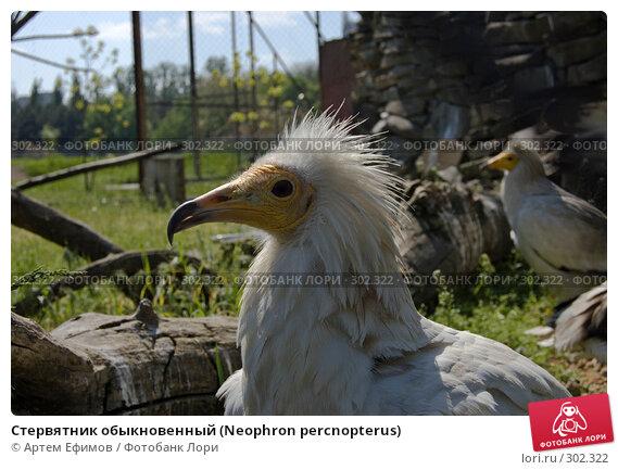 Стервятник обыкновенный (Neophron percnopterus), фото № 302322, снято 4 мая 2008 г. (c) Артем Ефимов / Фотобанк Лори