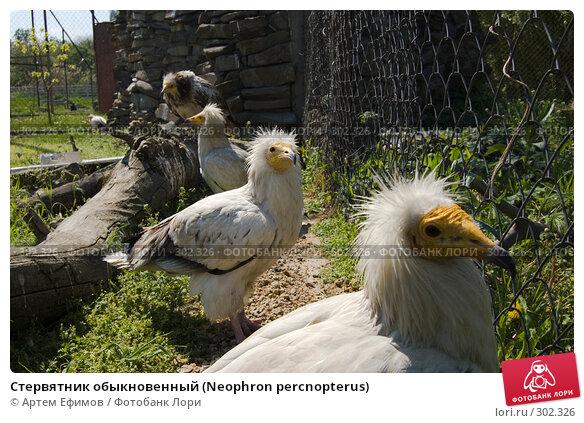 Стервятник обыкновенный (Neophron percnopterus), фото № 302326, снято 4 мая 2008 г. (c) Артем Ефимов / Фотобанк Лори
