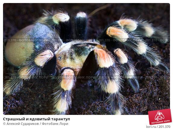Страшный и ядовитый тарантул, фото № 201370, снято 13 февраля 2008 г. (c) Алексей Судариков / Фотобанк Лори