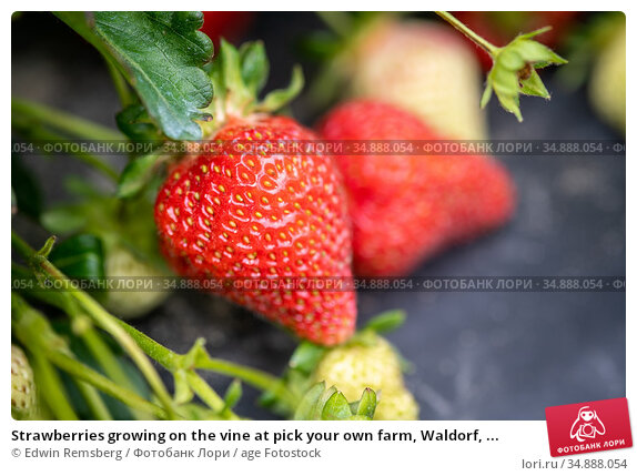 Strawberries growing on the vine at pick your own farm, Waldorf, ... Стоковое фото, фотограф Edwin Remsberg / age Fotostock / Фотобанк Лори