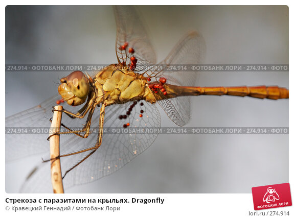 Стрекоза с паразитами на крыльях. Dragonfly, фото № 274914, снято 22 октября 2016 г. (c) Кравецкий Геннадий / Фотобанк Лори