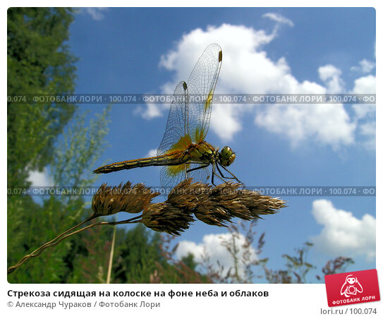 Стрекоза сидящая на колоске на фоне неба и облаков, фото № 100074, снято 24 июля 2005 г. (c) Александр Чураков / Фотобанк Лори