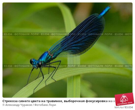 Стрекоза синего цвета на травинке, выборочная фокусировка на крылья, фото № 83034, снято 24 июня 2007 г. (c) Александр Чураков / Фотобанк Лори
