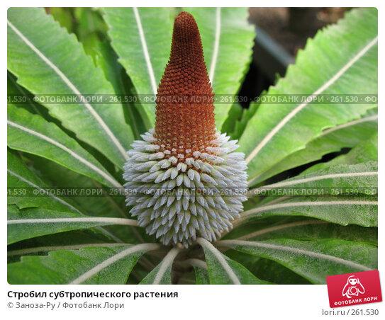 Стробил субтропического растения, фото № 261530, снято 12 апреля 2008 г. (c) Заноза-Ру / Фотобанк Лори