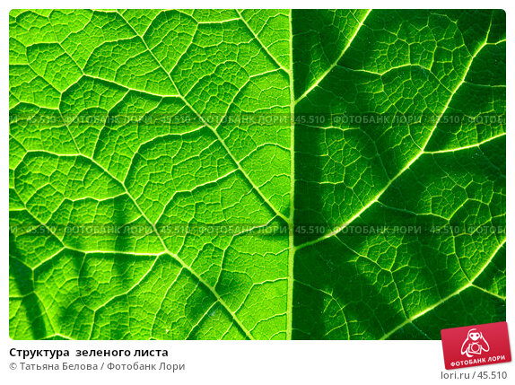 Структура  зеленого листа, фото № 45510, снято 19 мая 2007 г. (c) Татьяна Белова / Фотобанк Лори
