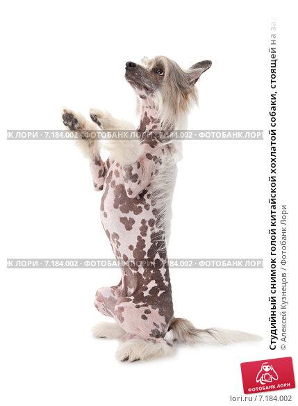 Купить «Студийный снимок голой китайской хохлатой собаки, стоящей на задних лапах, на белом фоне», фото № 7184002, снято 15 июля 2014 г. (c) Алексей Кузнецов / Фотобанк Лори