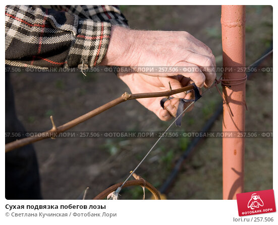 Сухая подвязка побегов лозы, фото № 257506, снято 27 марта 2017 г. (c) Светлана Кучинская / Фотобанк Лори