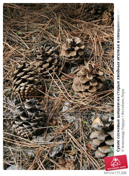 Сухие сосновые шишки на старых хвойных иголках в смешанном лесу, фото № 11226, снято 10 сентября 2006 г. (c) Александр Паррус / Фотобанк Лори