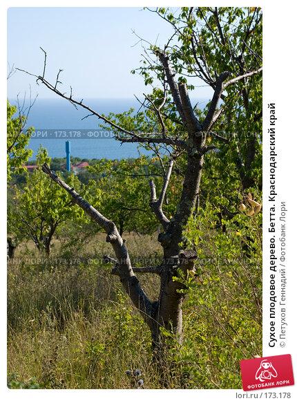 Купить «Сухое плодовое дерево. Бетта. Краснодарский край», фото № 173178, снято 12 августа 2007 г. (c) Петухов Геннадий / Фотобанк Лори