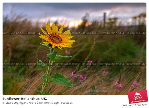 Sunflower-Helianthus. UK. Стоковое фото, фотограф Lisa Geoghegan / age Fotostock / Фотобанк Лори