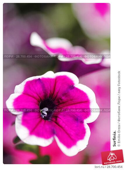 Купить «Surfinia.», фото № 28700454, снято 8 июня 2018 г. (c) easy Fotostock / Фотобанк Лори