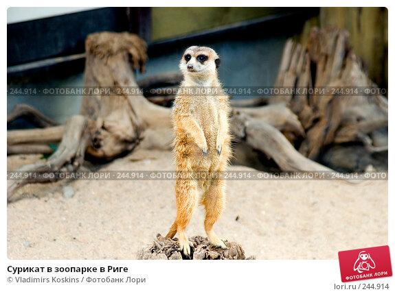 Купить «Сурикат в зоопарке в Риге», фото № 244914, снято 19 июля 2006 г. (c) Vladimirs Koskins / Фотобанк Лори