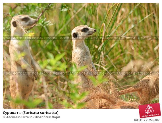 Сурикаты (Suricata suricatta) Стоковое фото, фотограф Алёшина Оксана / Фотобанк Лори