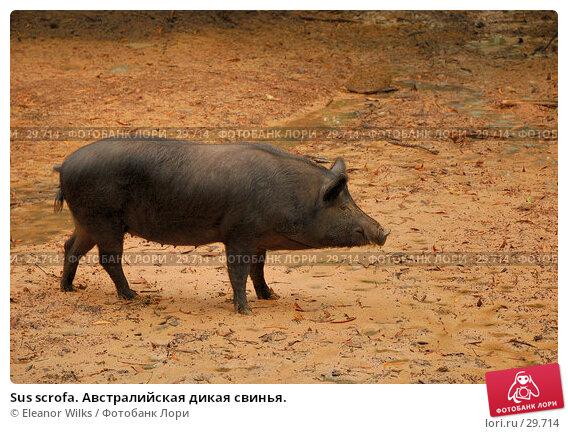 Sus scrofa. Австралийская дикая свинья., фото № 29714, снято 15 апреля 2007 г. (c) Eleanor Wilks / Фотобанк Лори