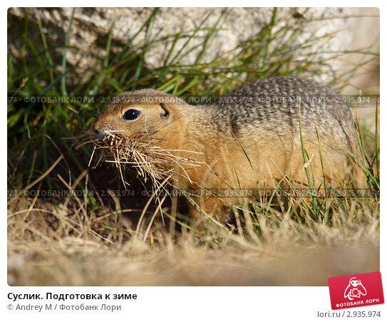Купить «Суслик. Подготовка к зиме», фото № 2935974, снято 22 августа 2011 г. (c) Andrey M / Фотобанк Лори