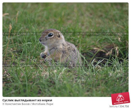 Суслик выглядывает из норки, фото № 334758, снято 26 июля 2017 г. (c) Константин Босов / Фотобанк Лори