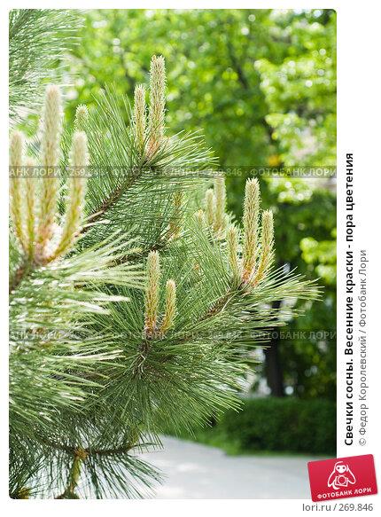 Свечки сосны. Весенние краски - пора цветения, фото № 269846, снято 1 мая 2008 г. (c) Федор Королевский / Фотобанк Лори