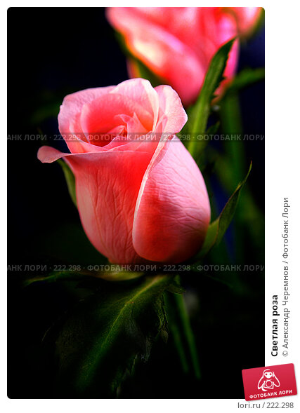 Светлая роза, фото № 222298, снято 7 сентября 2002 г. (c) Александр Черемнов / Фотобанк Лори